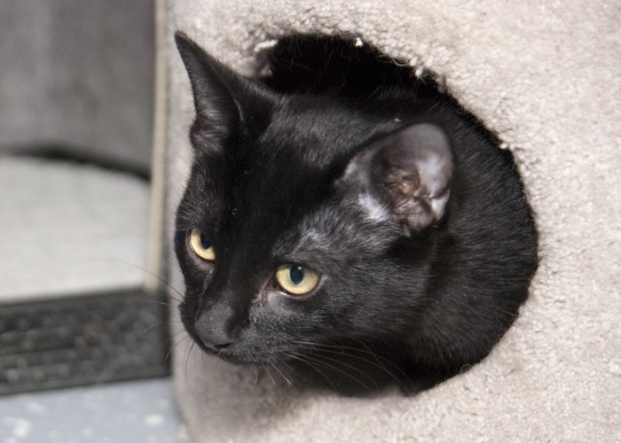 Patra, an adopted Domestic Short Hair in Fort Smith, NT