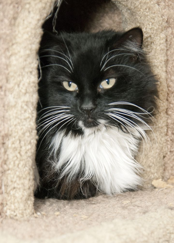 Saya, an adopted Domestic Medium Hair in Fort Smith, NT