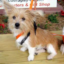 Amazing Yoda, an adopted Cairn Terrier & Papillon Mix in Little Rock, AR