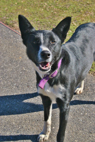Legs, an adopted Border Collie & Ibizan Hound Mix in Jamestown, CA