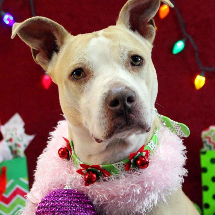 Darla: Adopted!, an adopted Pit Bull Terrier in Kansas City, KS