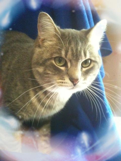 cat for adoption silver tabby cat near hillsboro mo petfinder