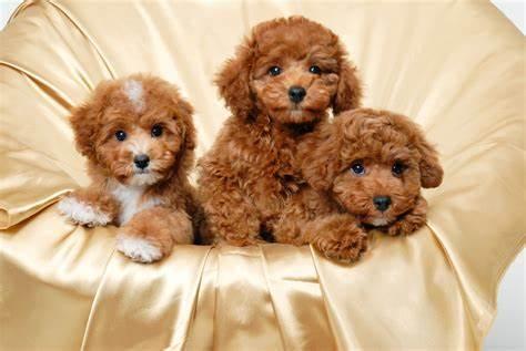 Dog for adoption - VOLUNTEERING, a Golden Retriever & German