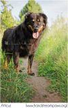 Rottweiler Dog: Atticus
