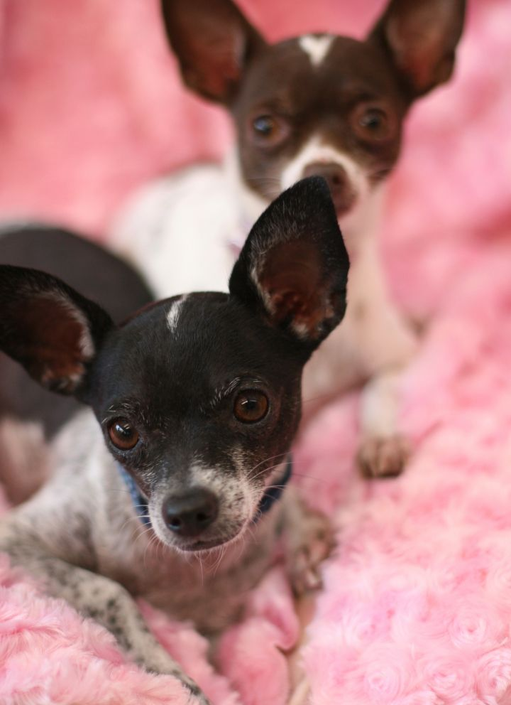 Bolt, an adopted Chihuahua in Toluca Lake, CA
