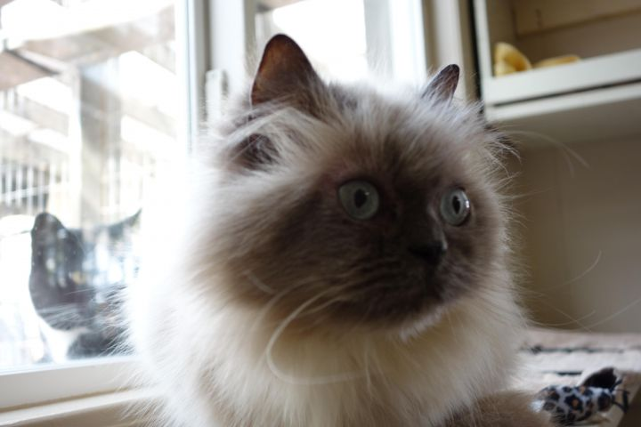 Carole, an adopted Himalayan in Maple Ridge, BC