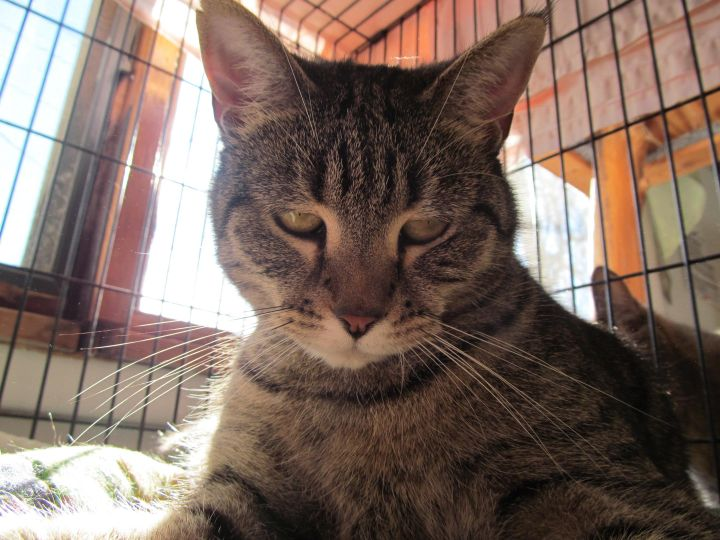 Nova, an adopted Tabby Mix in Corinth, NY