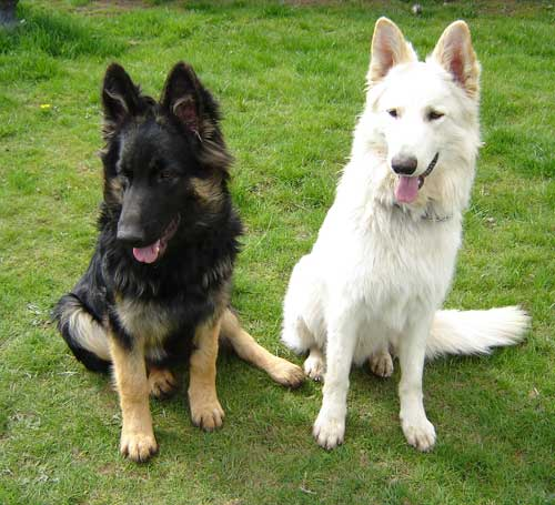 Dog For Adoption German Shepherd Referral Rescue A German