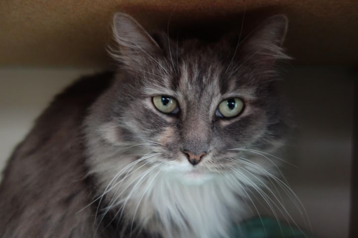 Purrsia, an adopted Domestic Medium Hair & Maine Coon Mix in Maple Ridge, BC