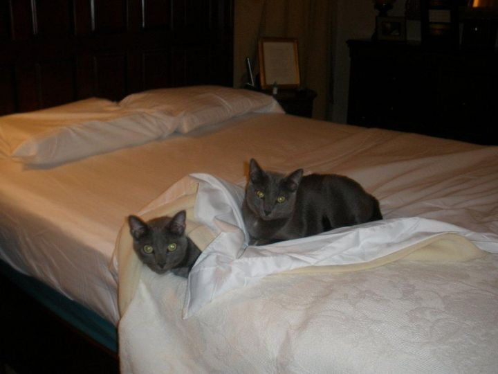 Boris and Marina, an adopted Russian Blue in Tallahassee, FL