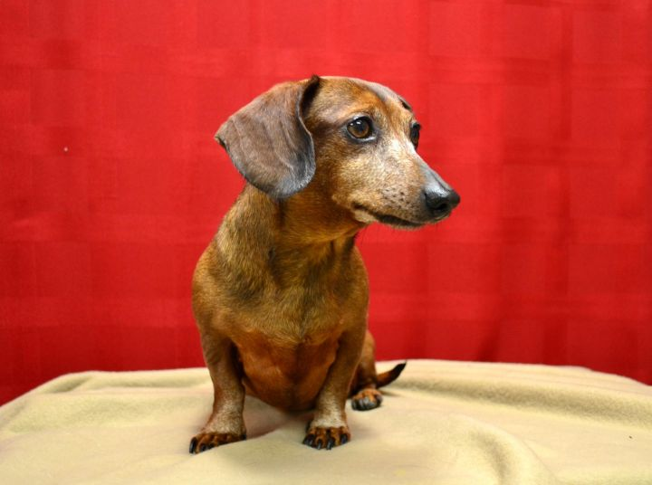 DIXIE, an adopted Dachshund in Denton, TX
