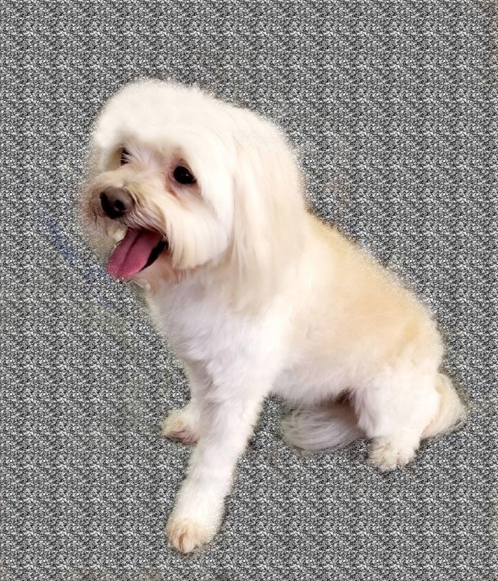 Dog For Adoption Bennie A Maltese Yorkshire Terrier Mix In