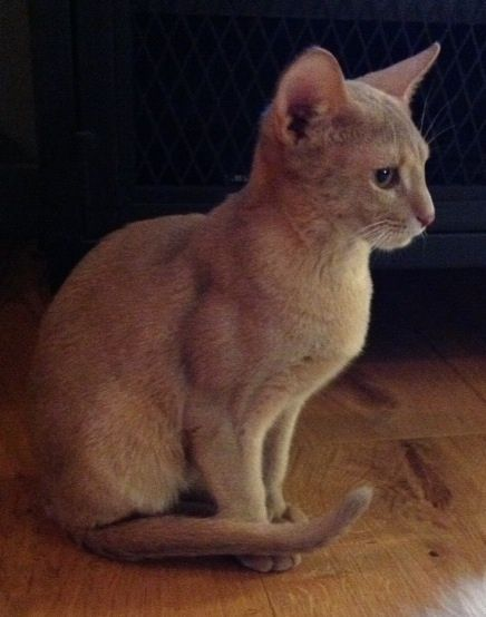 Dexter, an adopted Abyssinian in Beverly Hills, CA