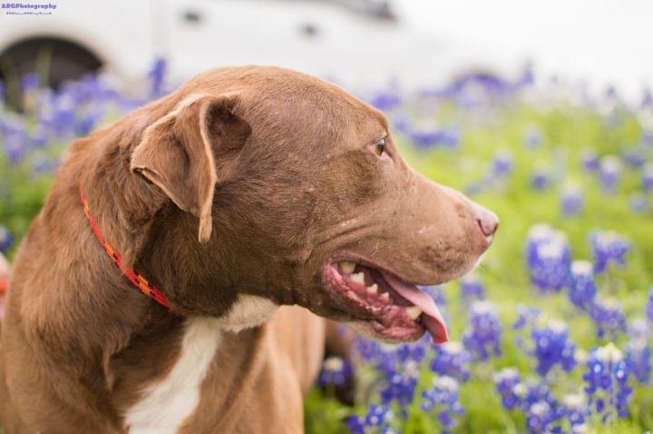 Tiffany, an adoptable American Staffordshire Terrier & Labrador Retriever Mix in Houston, TX