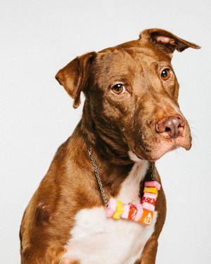 Tiffany American Staffordshire Terrier Dog