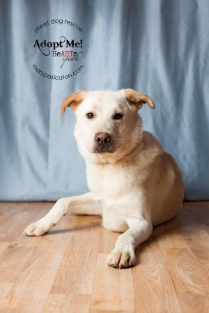 My name is Winston and I am a nine year old 55 lb LabradorGolden Retriever mix I am a gorgeous