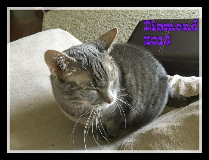 Diamond, an adoptable Domestic Short Hair & Tabby Mix in Waverly, IA