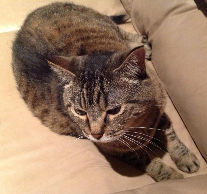 Sweet Charity, an adoptable Tabby in Waverly, IA