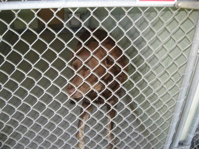 1017490, an adopted Chesapeake Bay Retriever Mix in Brooksville, FL