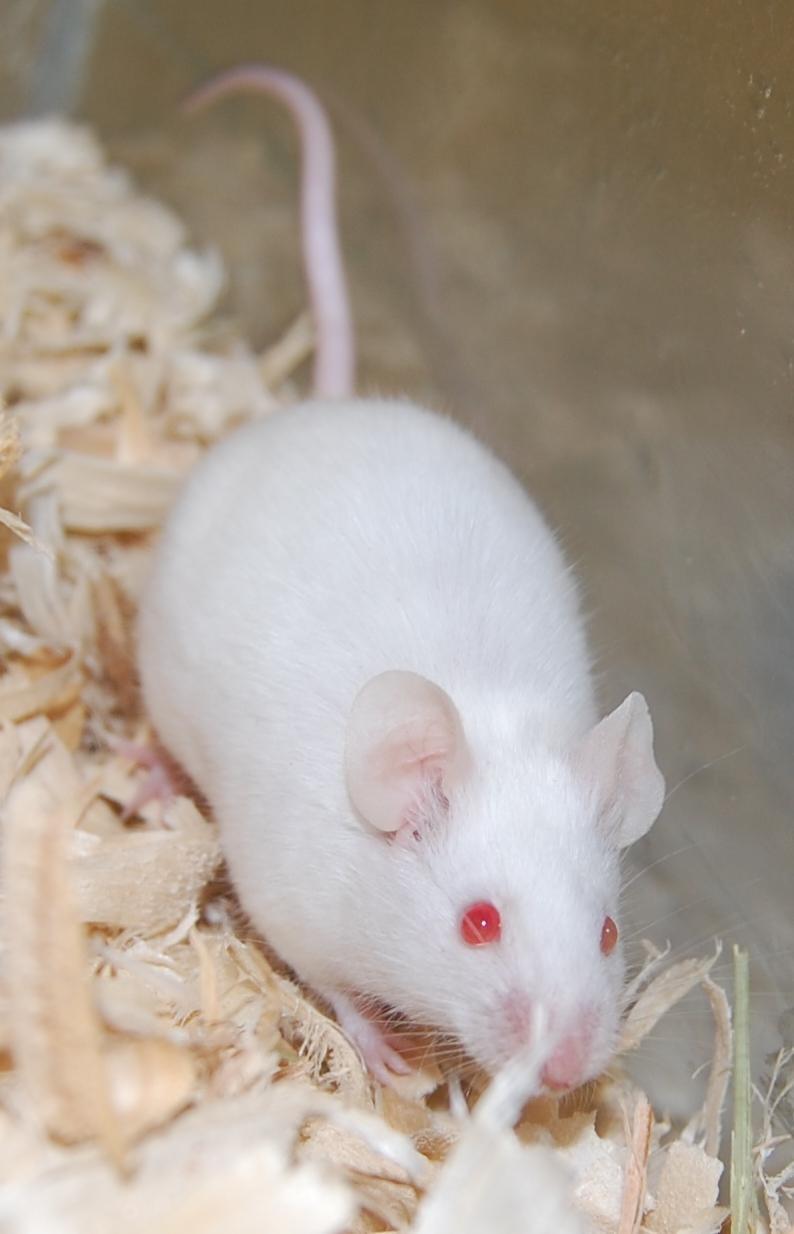 small  u0026 furry animal for adoption  u2013 white mouse  near