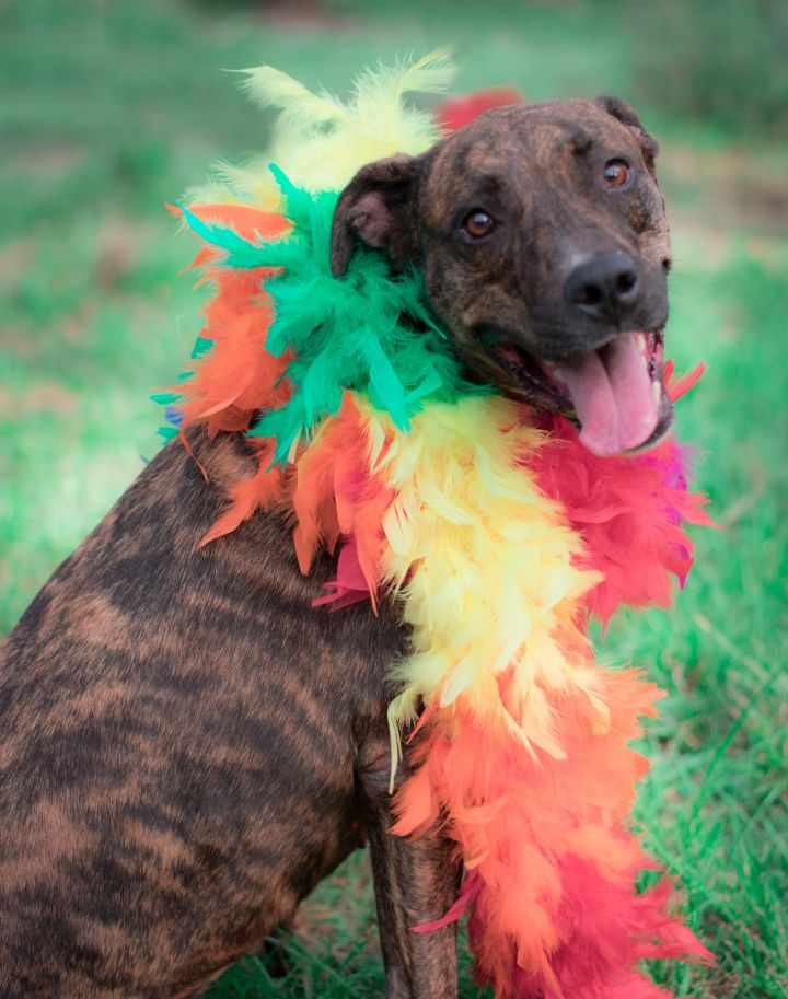 Ana, an adopted Boxer & Plott Hound Mix in Houston, TX