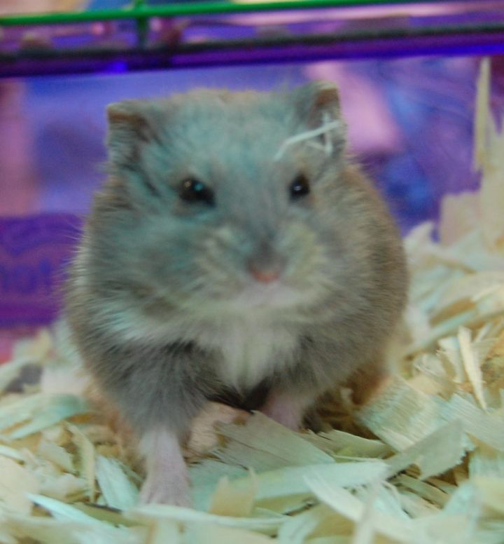 Hamster for adoption - Dwarf Hamsters, a Hamster in Brooklyn