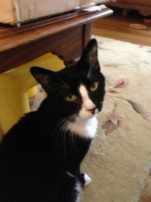 Pino was born around 52411 He is a sweet cat and is fostered in Somers NY