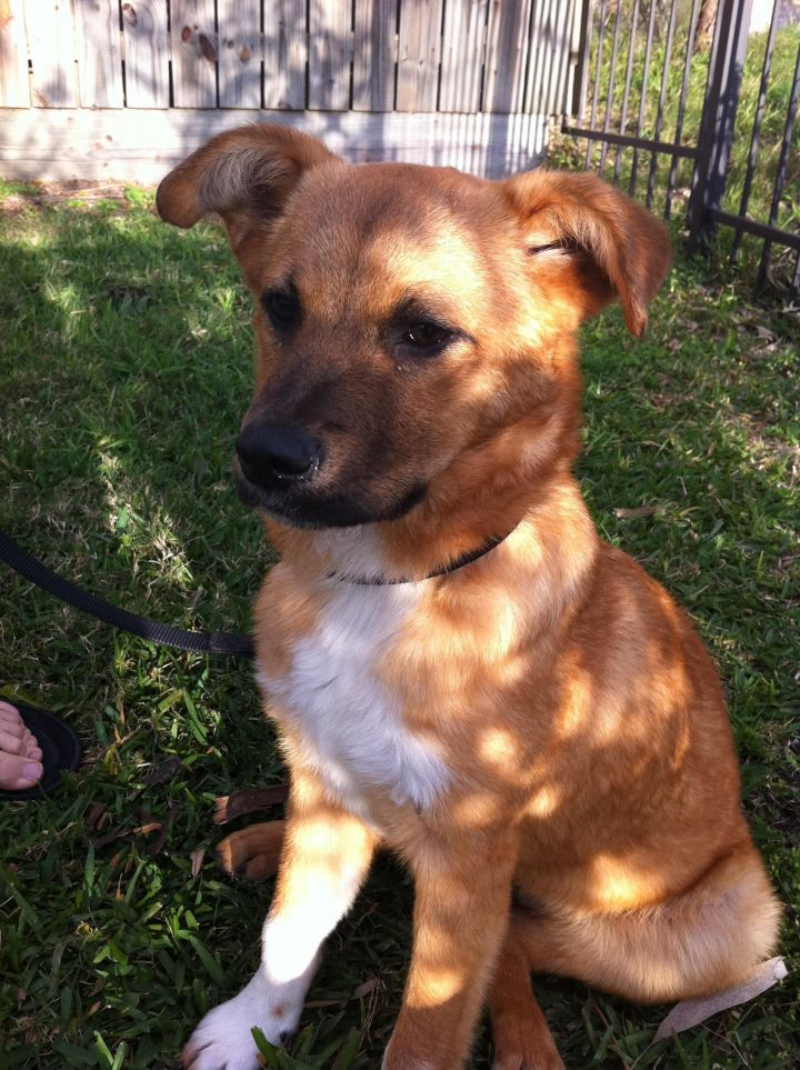 Lola Puppy, an adopted German Shepherd Dog & Golden Retriever Mix in Houston, TX