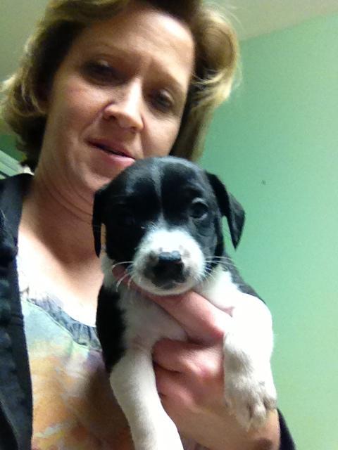 Corgi/beagle puppies