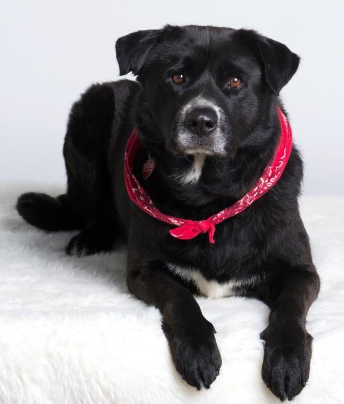 Knightley  (FOTA Foster), an adopted Labrador Retriever & Border Collie Mix in Baton Rouge, LA