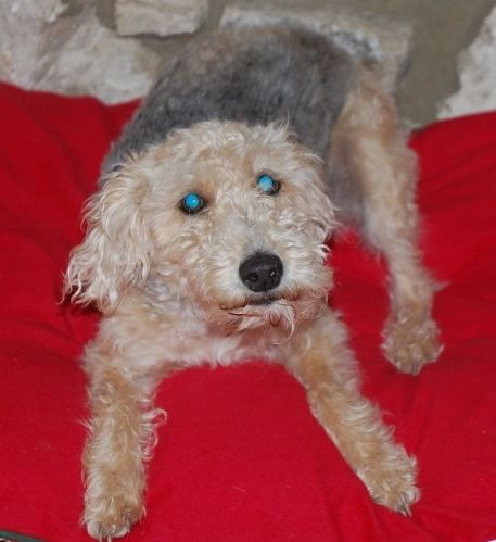 NJ - Maggie, an adopted Standard Poodle & Wire Fox Terrier Mix in Jackson, NJ