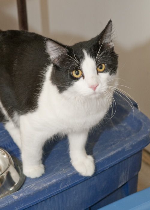 Paul, an adopted Domestic Medium Hair Mix in Fort Smith, NT