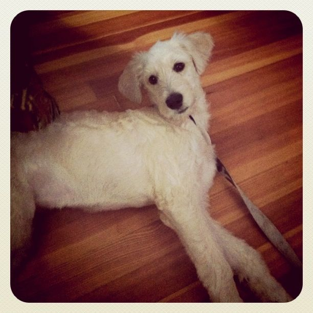 SC - Trixie, an adopted Standard Poodle & Labrador Retriever Mix in Jackson, NJ
