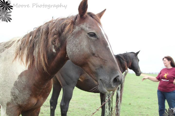 Admiral, an adoptable Paint / Pinto & Quarterhorse Mix in Brenham, TX