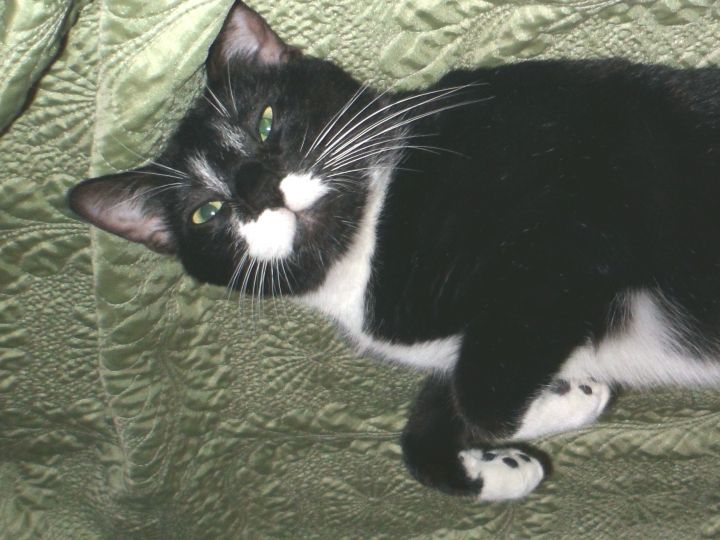 Tank, an adopted Domestic Short Hair in Smithfield, NC