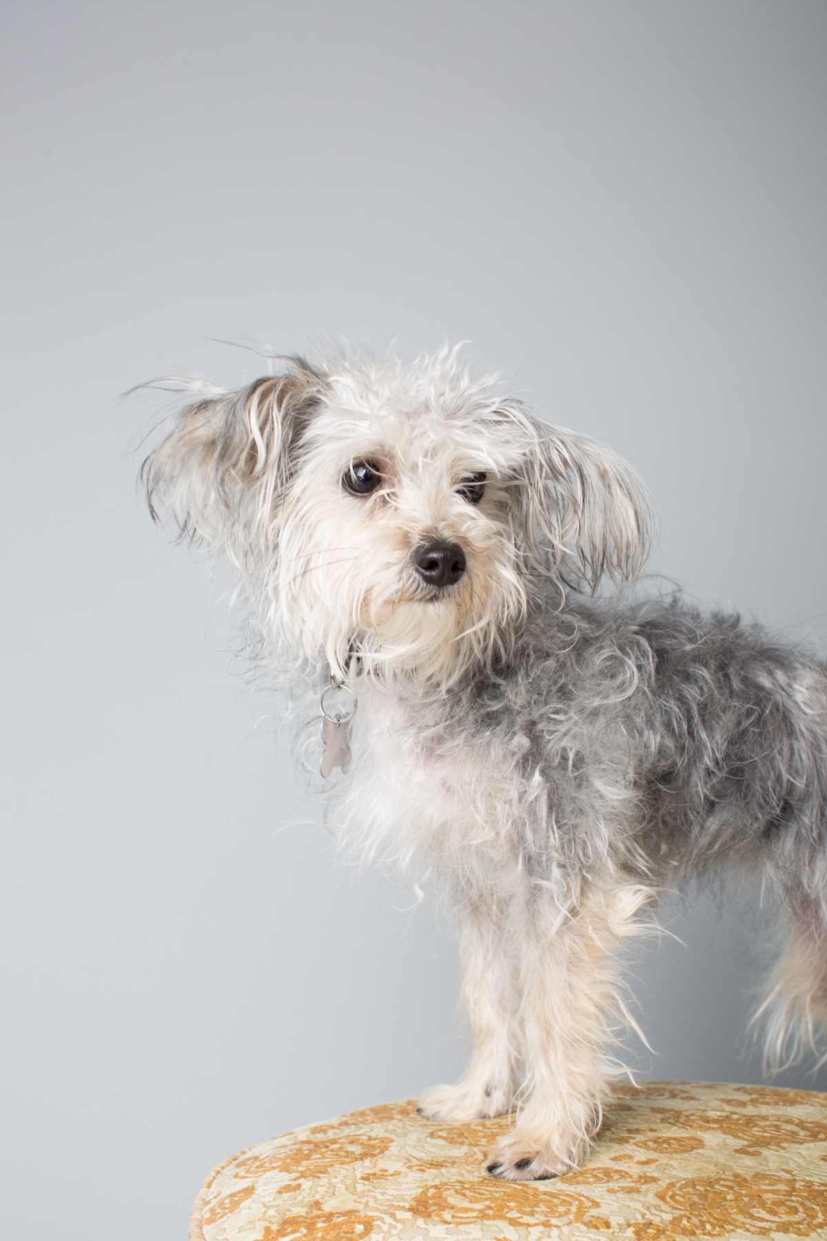 Chinese Crested/Yorkie Mix Bridget - Adopted 5/10/13