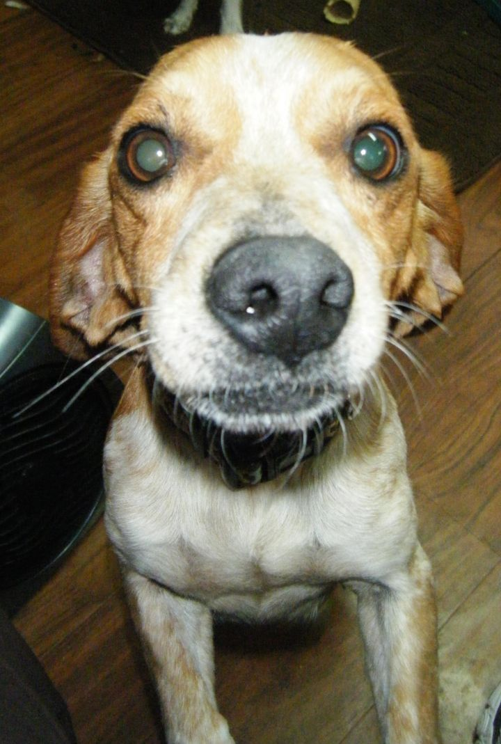 Flossy, an adopted Beagle Mix in Asheville, NC