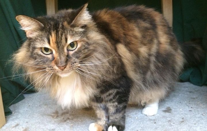 Carrie, an adopted Maine Coon in Tallahassee, FL