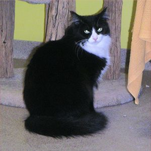 Rio is a long-furred black and white tuxedo cat His litter mates Ringo Silver and TJ were caug
