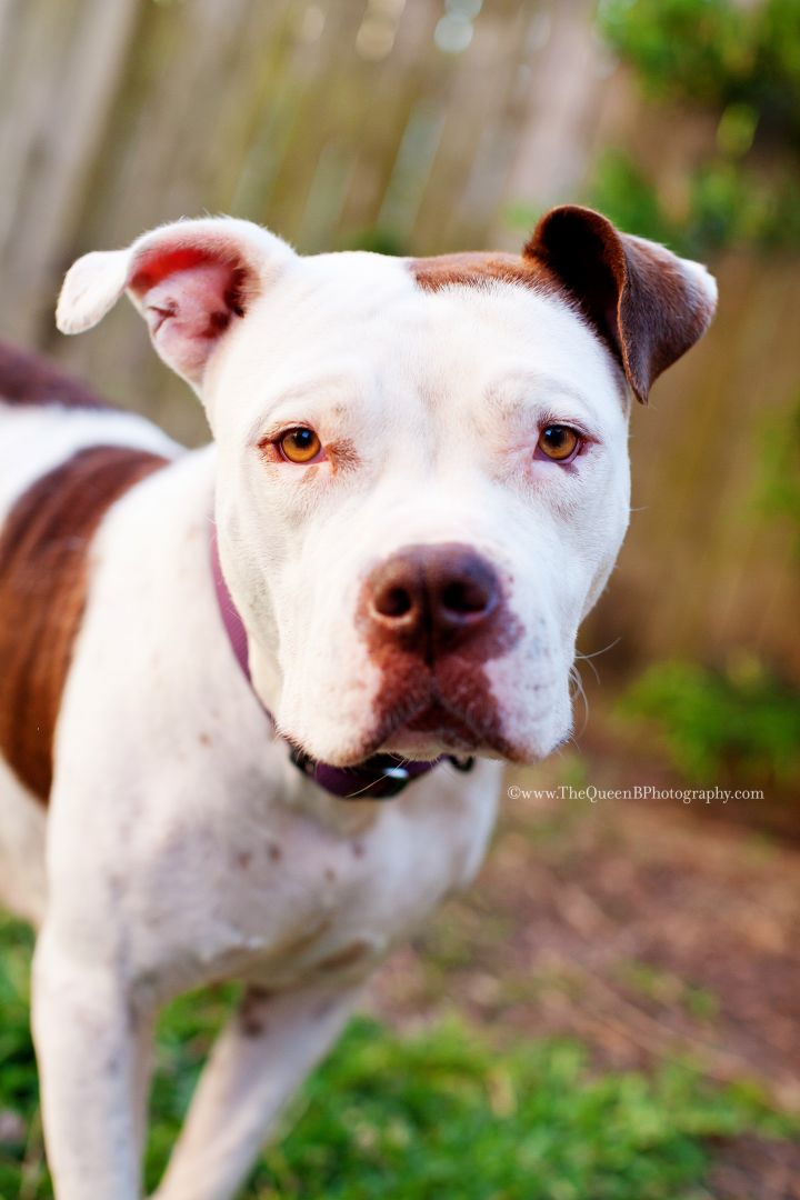 Grace, an adopted American Staffordshire Terrier Mix in Houston, TX