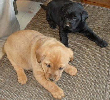 Lab puppies (ADOPTED!) 1