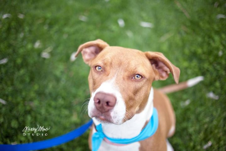 Jolie, an adopted Bull Terrier & Labrador Retriever Mix in West Richland, WA