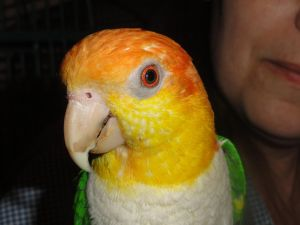 """KAY"" Sweet 11 Year Old female White Bellied Caquie"