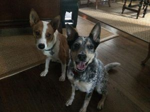 Chevy Australian Cattle Dog / Blue Heeler Dog