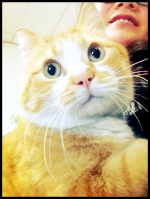 Cheddar, an adopted Domestic Short Hair in Anchorage, AK