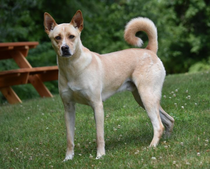 Albert, an adopted Labrador Retriever & Carolina Dog Mix in Bloomfield, CT