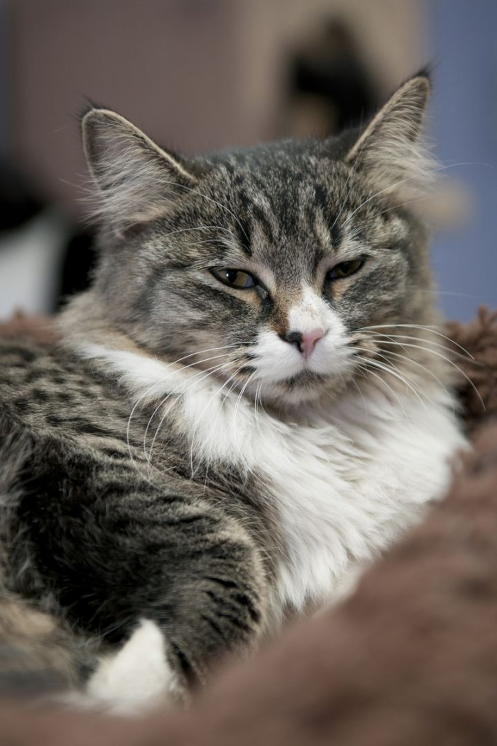 Furby, an adopted Domestic Medium Hair Mix in Fort Smith, NT