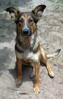 Kabo, an adopted German Shepherd Dog & Australian Cattle Dog / Blue Heeler Mix in Tallahassee, FL