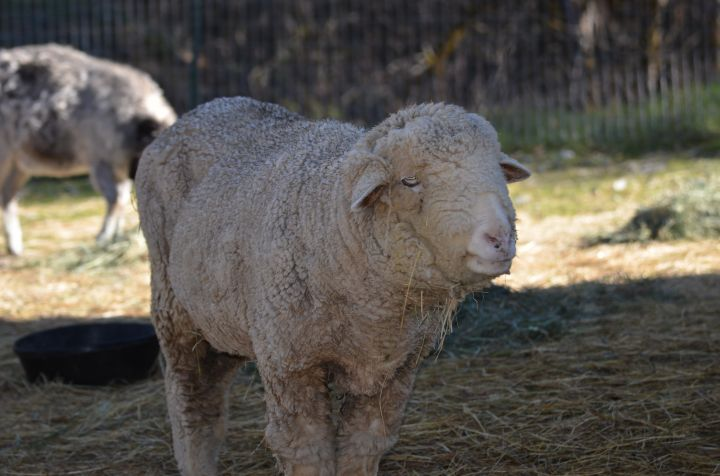 Betty, an adoptable Sheep in Jacksonville, OR