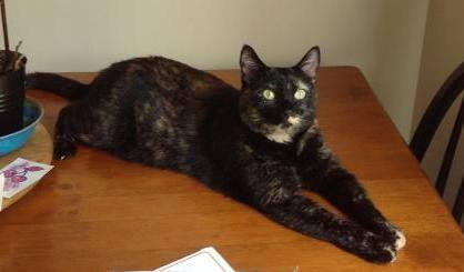 Star, an adopted Tortoiseshell in Manhattan, KS